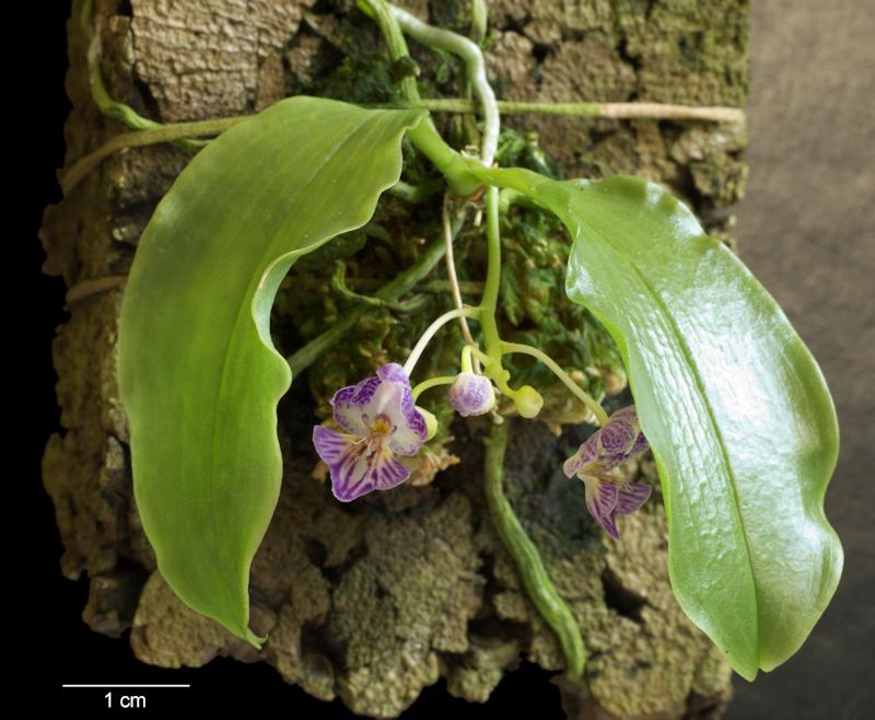phalaenopsis naturformen bl tengr e thread orchideenforum. Black Bedroom Furniture Sets. Home Design Ideas