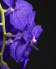 Vanda Royal Blue