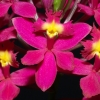 Epidendrum Christal Valley