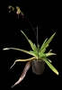 Paphiopedilum Shireen